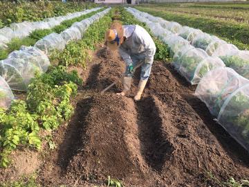 農園のさつま芋掘り10