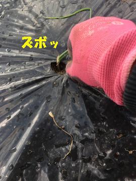 玉ねぎ、ニンニク植え続き3