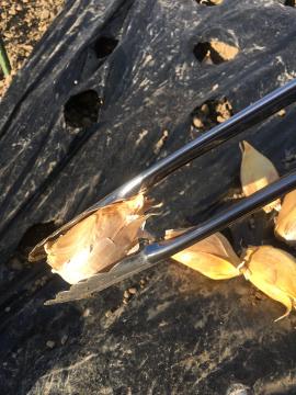 玉ねぎ、ニンニク植え続き9