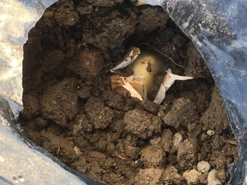 玉ねぎ、ニンニク植え続き11