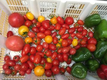トマトがまだ生ってる3