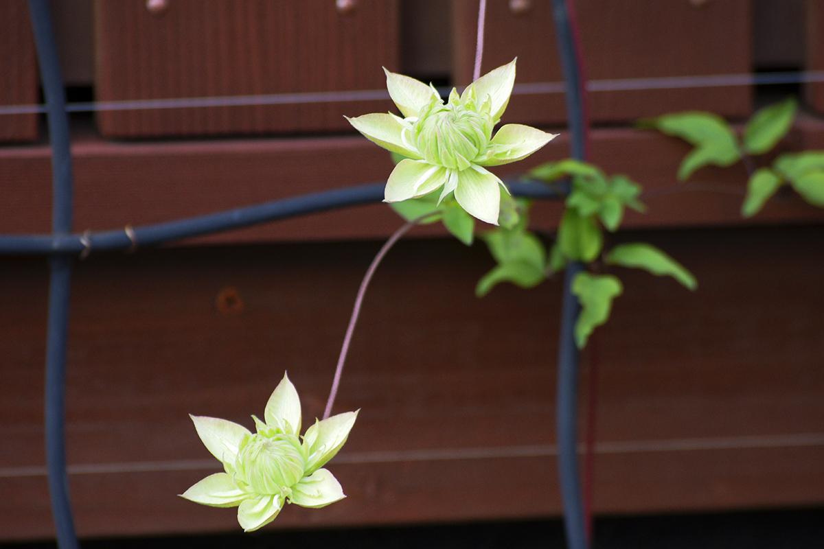 クレマチス白万重 2番花