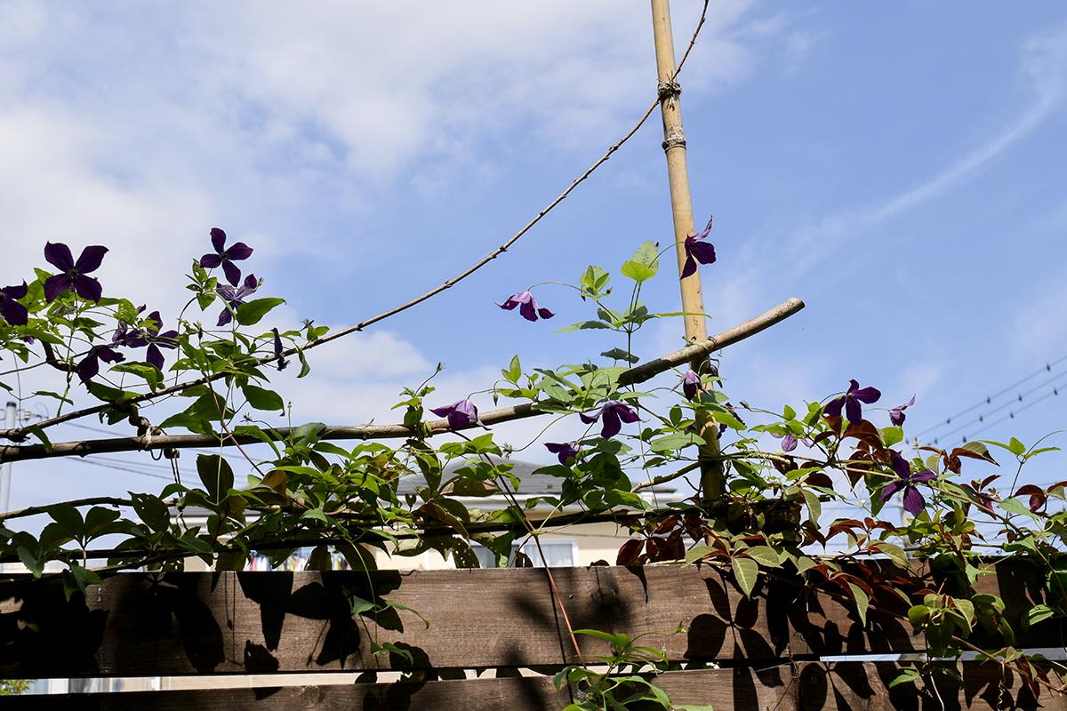 8/27 クレマチス ブラックプリンス 2番花 満開