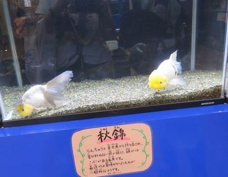 なかがわ水遊園 金魚展 秋錦(しゅうきん)