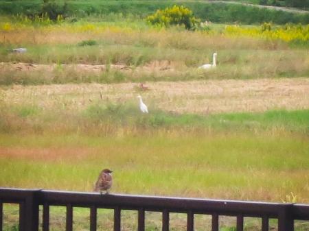 白鳥+白サギ+スズメ