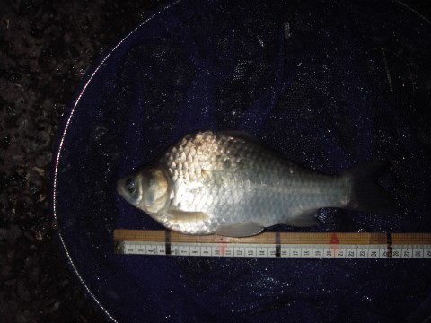 中川 ヘラブナ 26cm