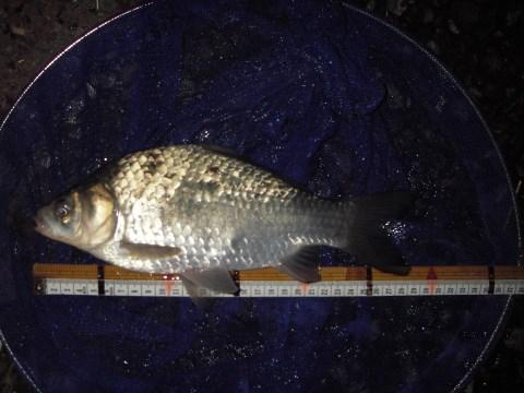 中川 フナ 28cm