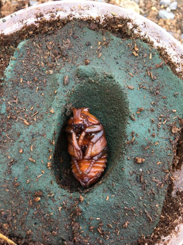 サビイロ♂蛹