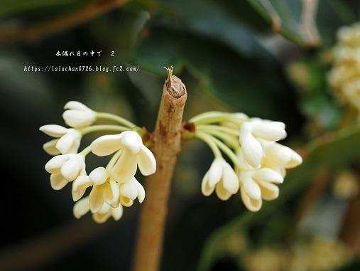 モクセイが咲く公園1