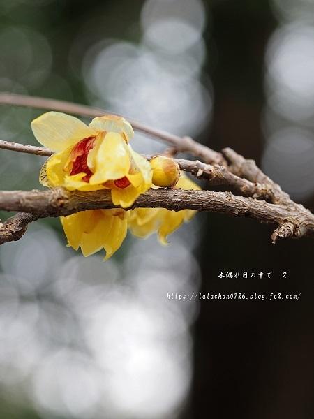 2月に咲く ロウバイ