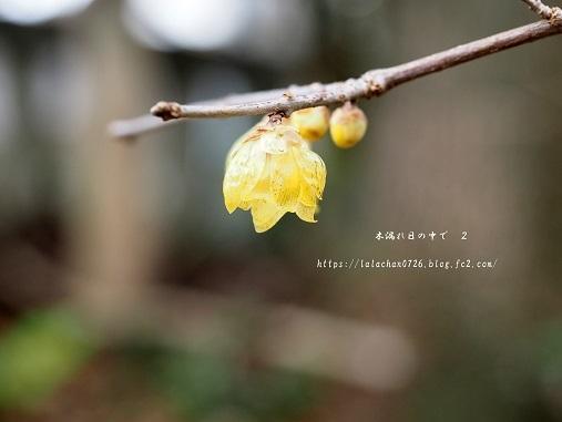 2月に咲く ろうばい