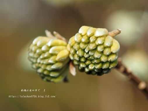 2月に咲く ミツマタ