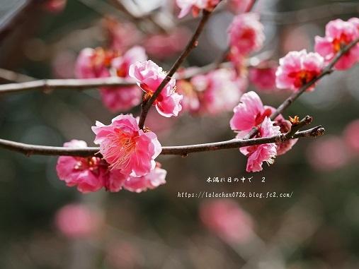 2月に咲く 紅梅2