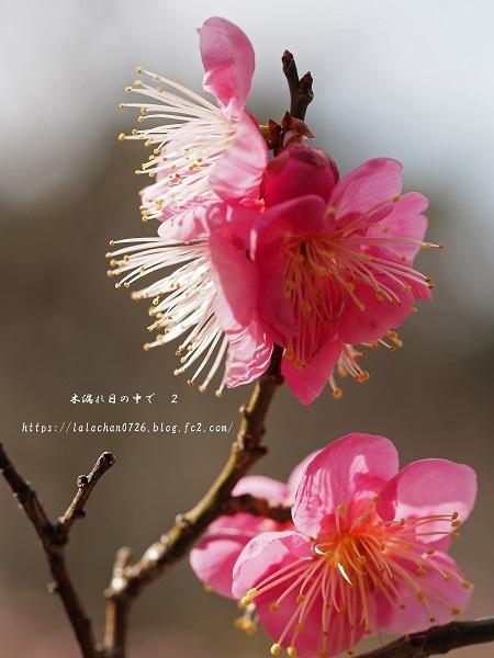 2月に咲く 紅梅1