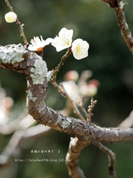 2月に咲く 白梅