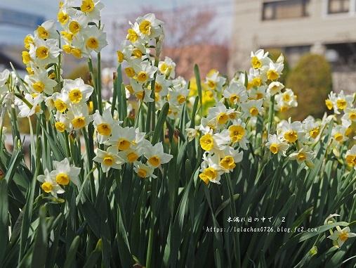 2月に咲く 水仙2