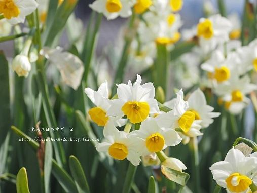 2月に咲く 水仙1