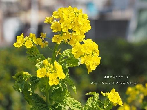 2月に咲く 菜の花1