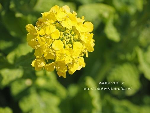 2月に咲く 菜の花2