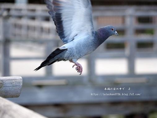2月に 鳩2