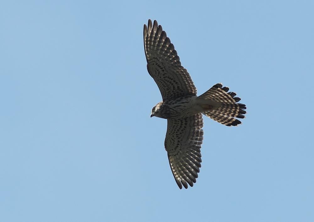 チョウゲンボウ (3)