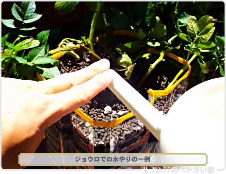 ジャガイモの試験栽培43