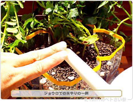 ジャガイモの試験栽培48