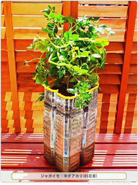 ジャガイモの試験栽培50