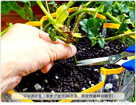 ジャガイモの試験栽培53