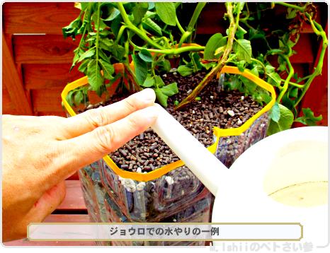 ジャガイモの試験栽培61