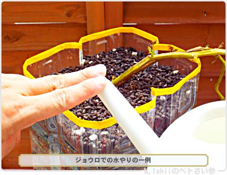 ジャガイモの試験栽培65