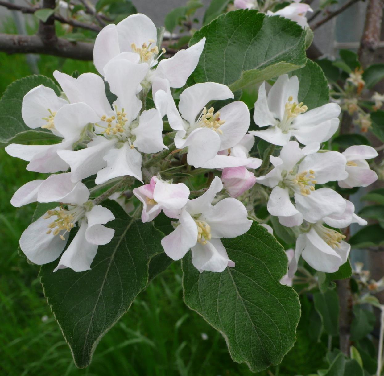 リンゴの花(1)