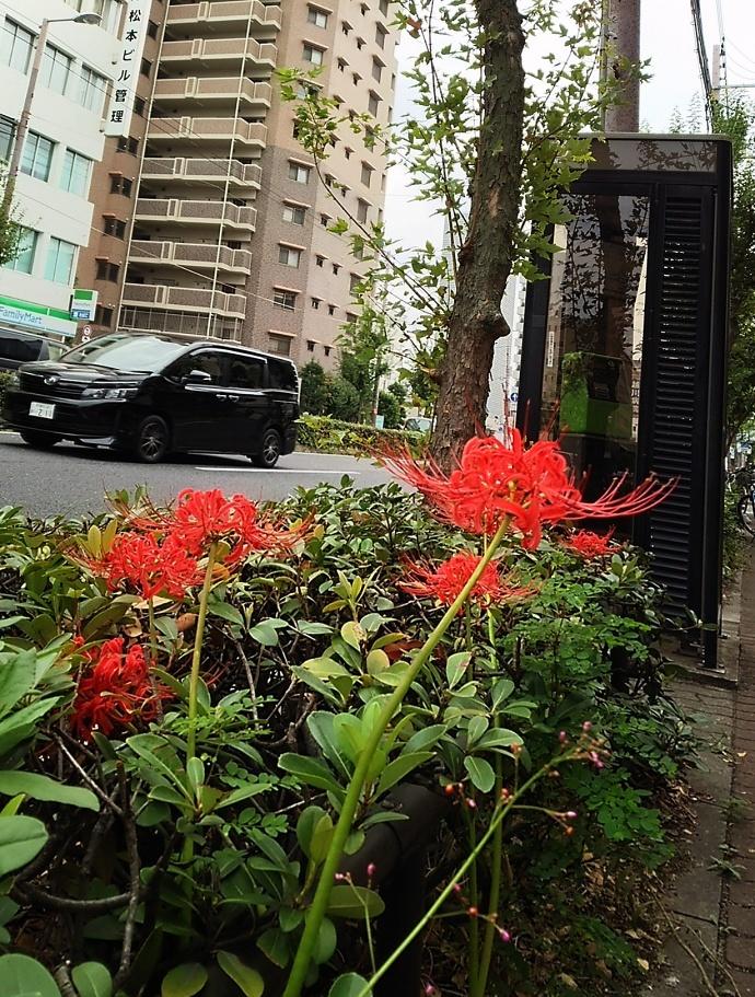 170923彼岸花 (4)