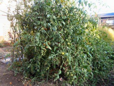 400 ミニトマト