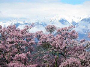 300 高遠城址桜