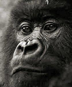 250 gorilla nostrial