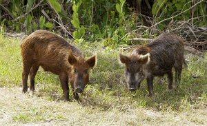 01 300 wild boar
