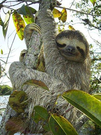 01 350 sloth ナマケモノ