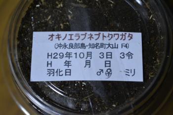 2017.10.06 オキノエラブネブト F4 02