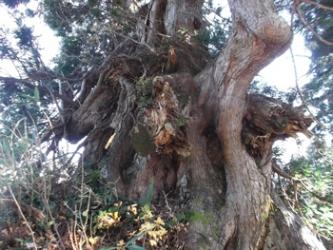 立山杉の巨樹