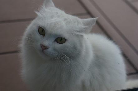 白猫のおしら♪