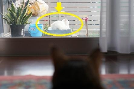 白猫おしら