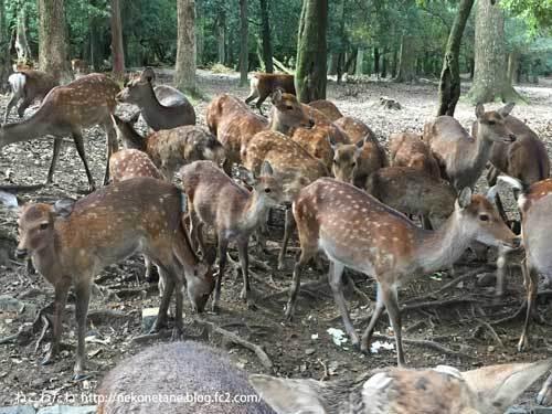 鹿せんべい付近の鹿さんたち