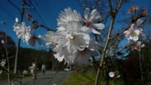 171112_十月桜2