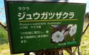 171112_十月桜