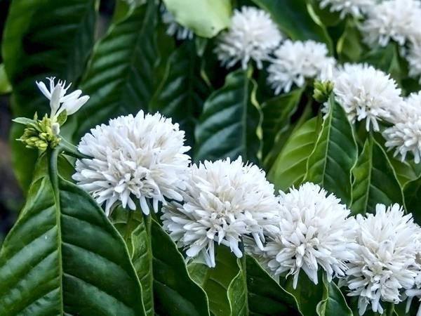 170928_coffeeflower.jpg