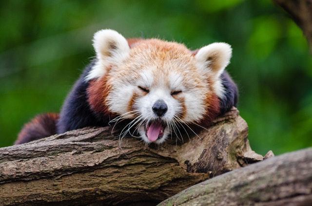 寝てるレッサーパンダ※