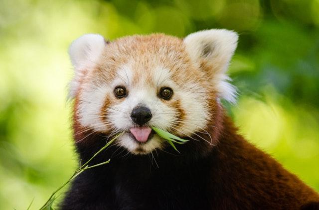 笑顔のレッサーパンダ