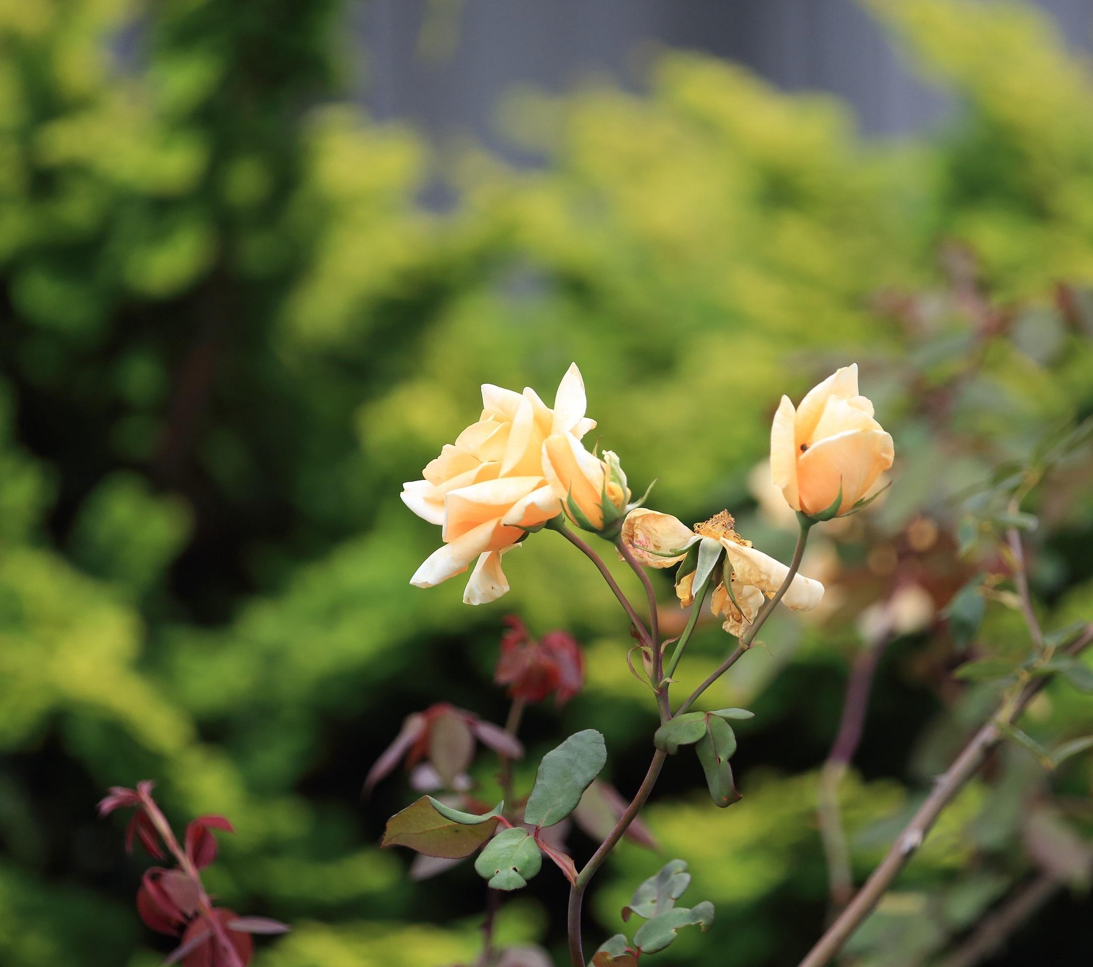 2017 10 11 天辺のバラ ブログ用.jpg