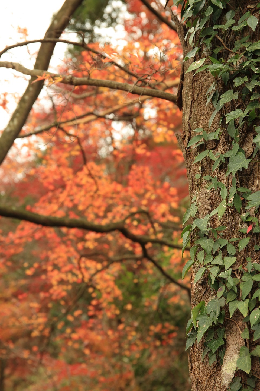 2017 11 22 ブログ  我も同じ 大木に寄り添う 枯れ葉に似て.jpg